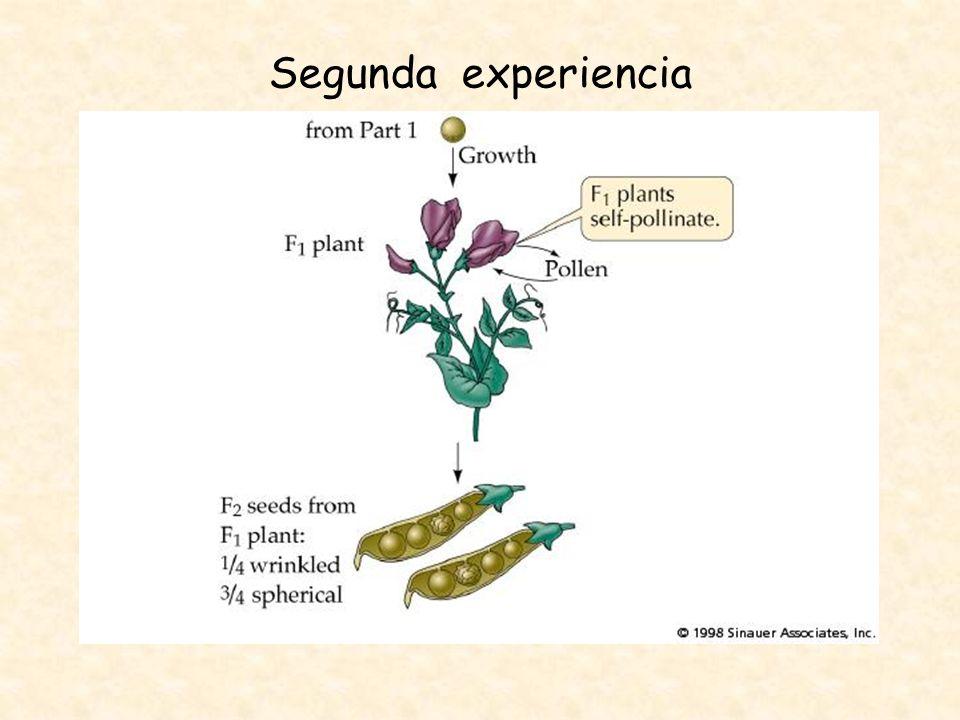 Segunda Ley Principio de segregación Cuando se aparean individuos de F1 entre sí, se observa en la F2 una proporción fenotípica de 3:1, debido a que los miembros de una pareja alélica se separan o segregan uno de otro sin sufrir modificaciones cuando un individuo heterocigota forma sus gametas