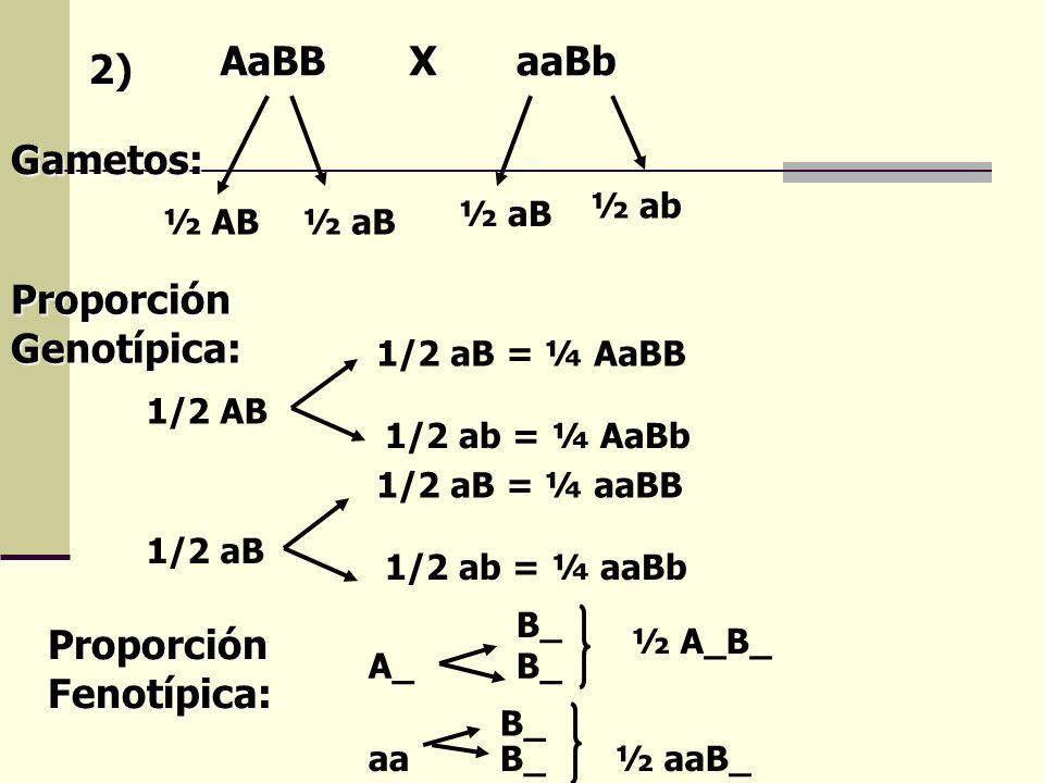 2) Gametos: AaBBXaaBb ½ AB½ aB ½ ab Proporción Genotípica: 1/2 AB 1/2 aB = ¼ AaBB 1/2 ab = ¼ AaBb 1/2 aB 1/2 aB = ¼ aaBB 1/2 ab = ¼ aaBb Proporción Fe