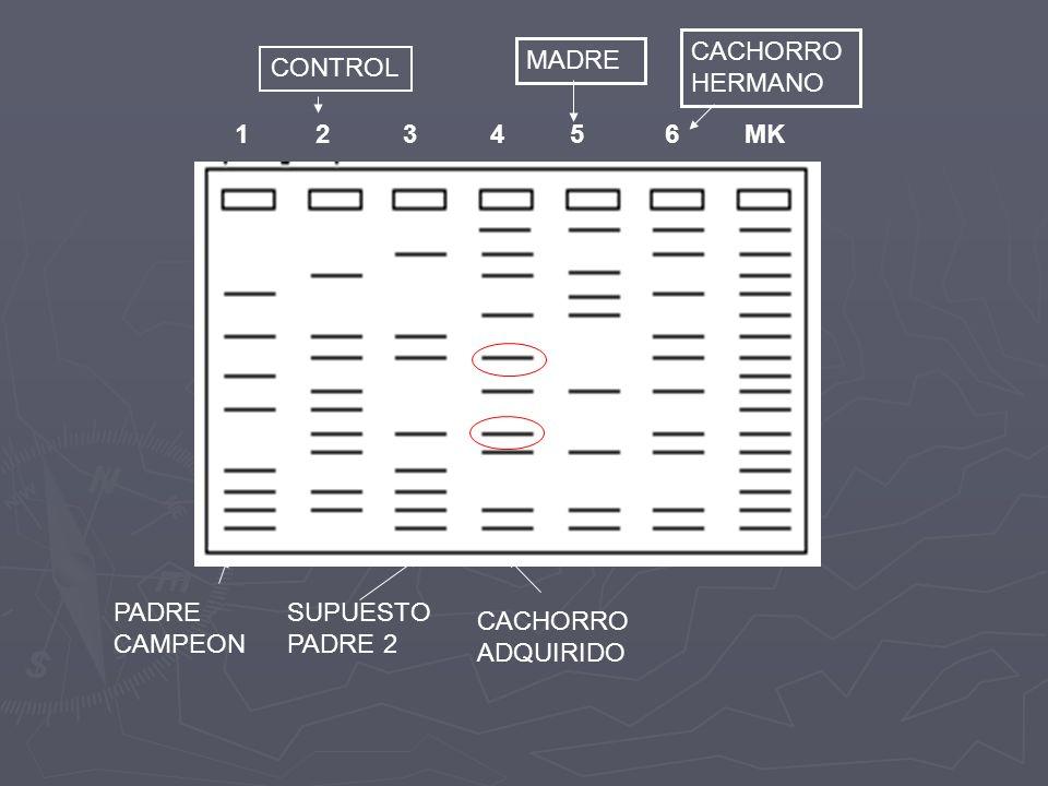 Marcadores moleculares Genes candidatos (MAS3) Genes candidatos (MAS3) En desequilibrio de ligamiento con un Locus de un carácter cuantitativo (QTL: quantitative trait loci) (selección a través de familias: MAS2) En desequilibrio de ligamiento con un Locus de un carácter cuantitativo (QTL: quantitative trait loci) (selección a través de familias: MAS2) En equilibrio de ligamiento con un Locus de un En equilibrio de ligamiento con un Locus de un carácter cuantitativo (QTL: quantitative trait loci) (selección dentro de familias: MAS1)