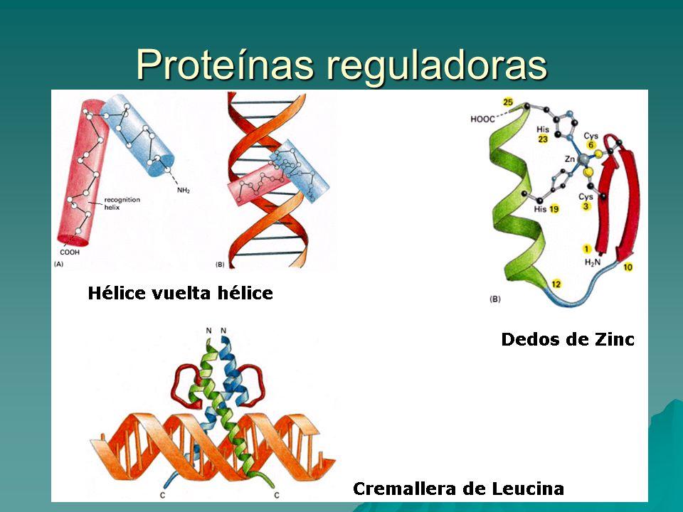 Proteínas reguladoras