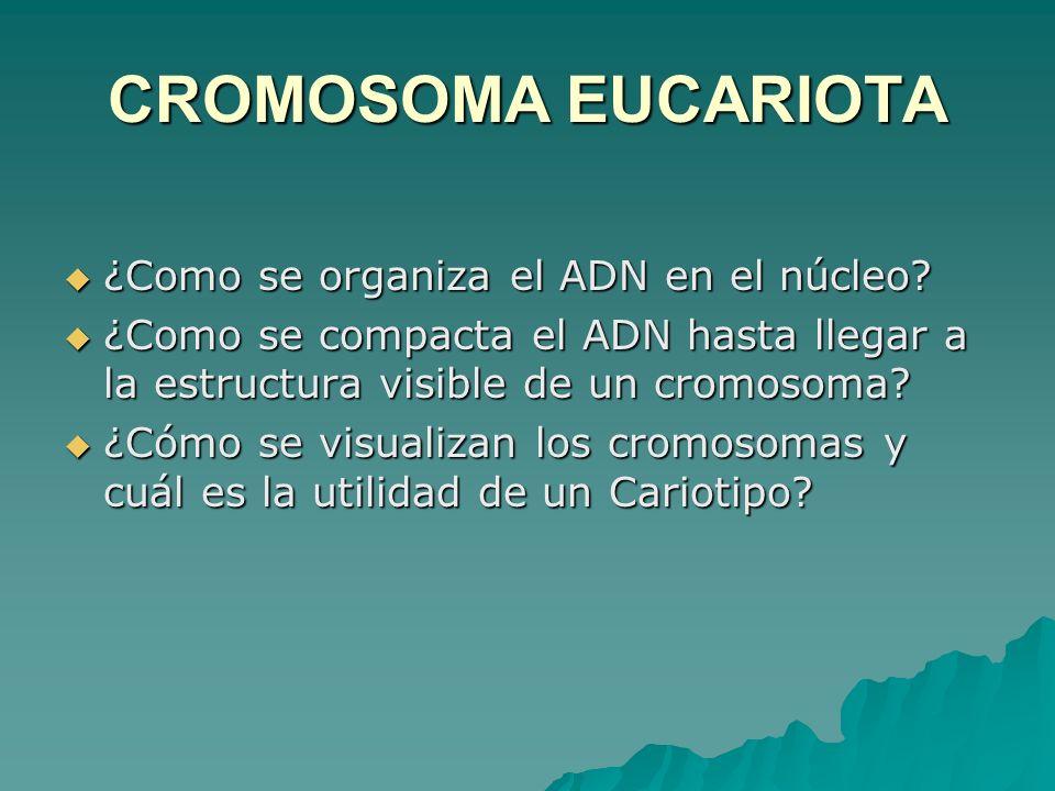 CROMOSOMA EUCARIOTA ¿Como se organiza el ADN en el núcleo? ¿Como se organiza el ADN en el núcleo? ¿Como se compacta el ADN hasta llegar a la estructur