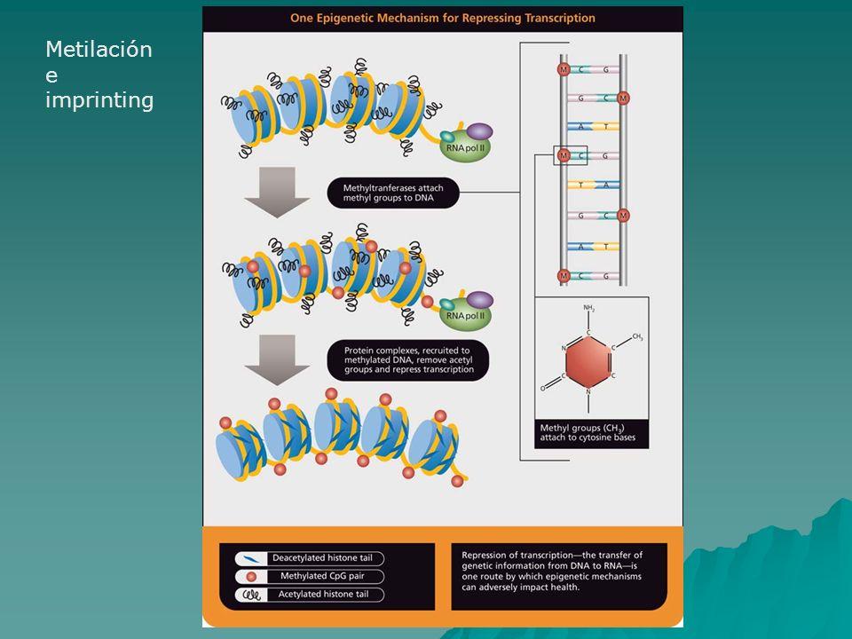 Imprinting Metilación e imprinting