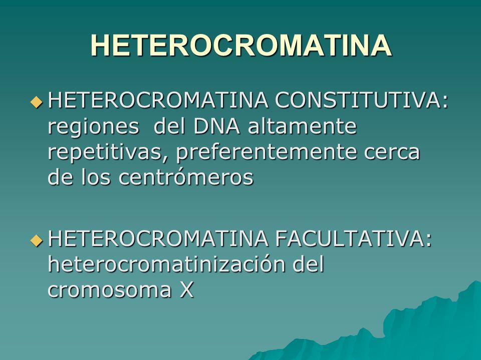 HETEROCROMATINA HETEROCROMATINA CONSTITUTIVA: regiones del DNA altamente repetitivas, preferentemente cerca de los centrómeros HETEROCROMATINA CONSTIT