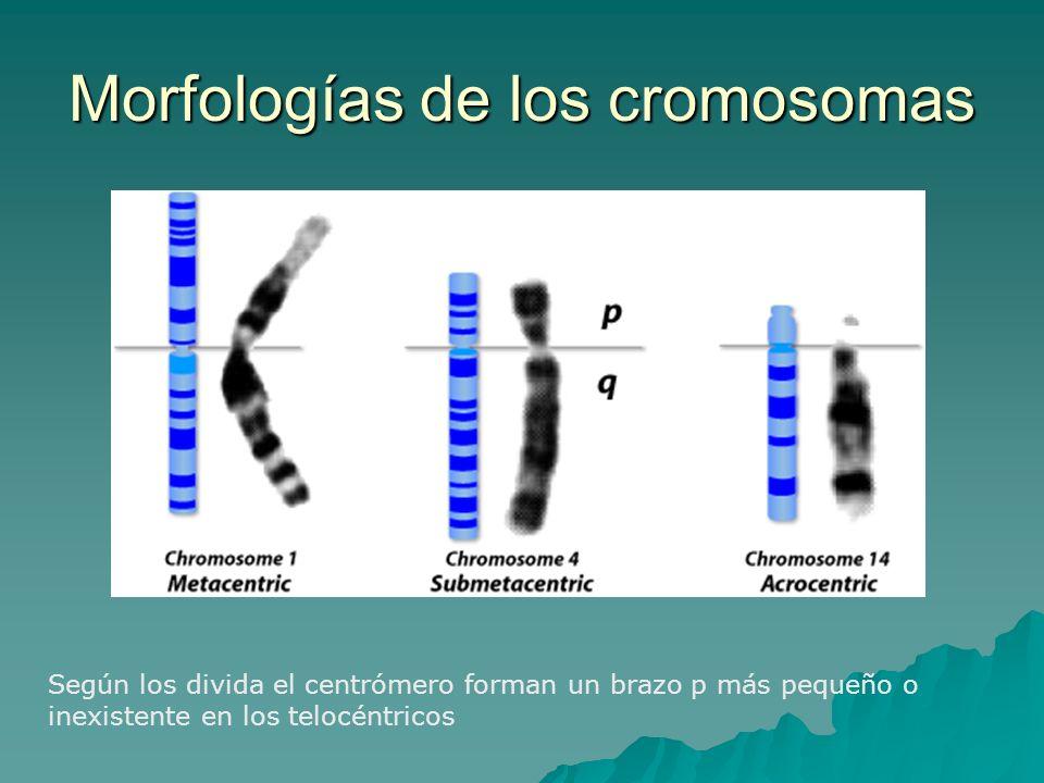 Morfologías de los cromosomas Según los divida el centrómero forman un brazo p más pequeño o inexistente en los telocéntricos