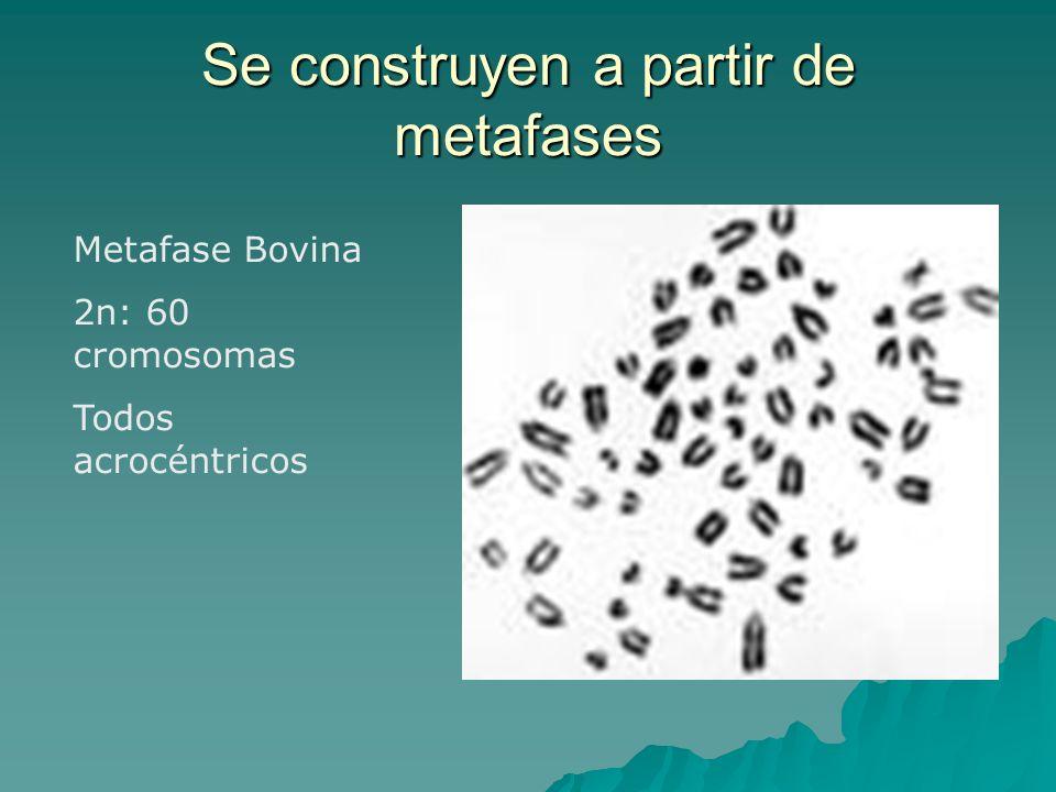 Se construyen a partir de metafases Metafase Bovina 2n: 60 cromosomas Todos acrocéntricos