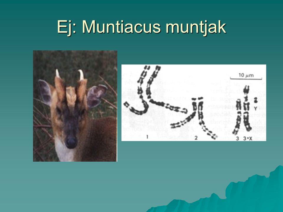Ej: Muntiacus muntjak