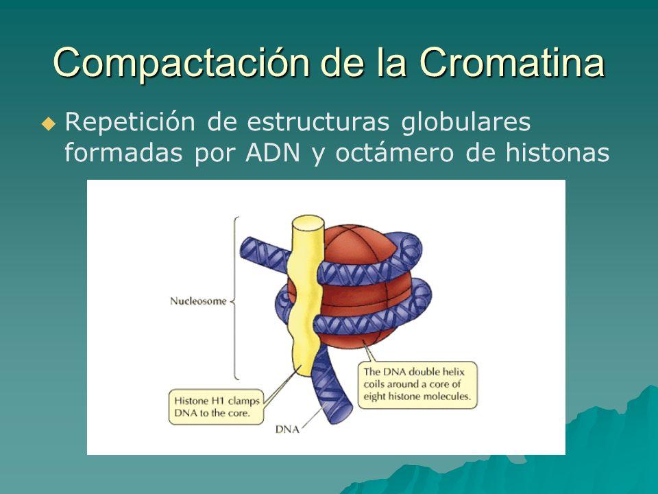 Repetición de estructuras globulares formadas por ADN y octámero de histonas Compactación de la Cromatina