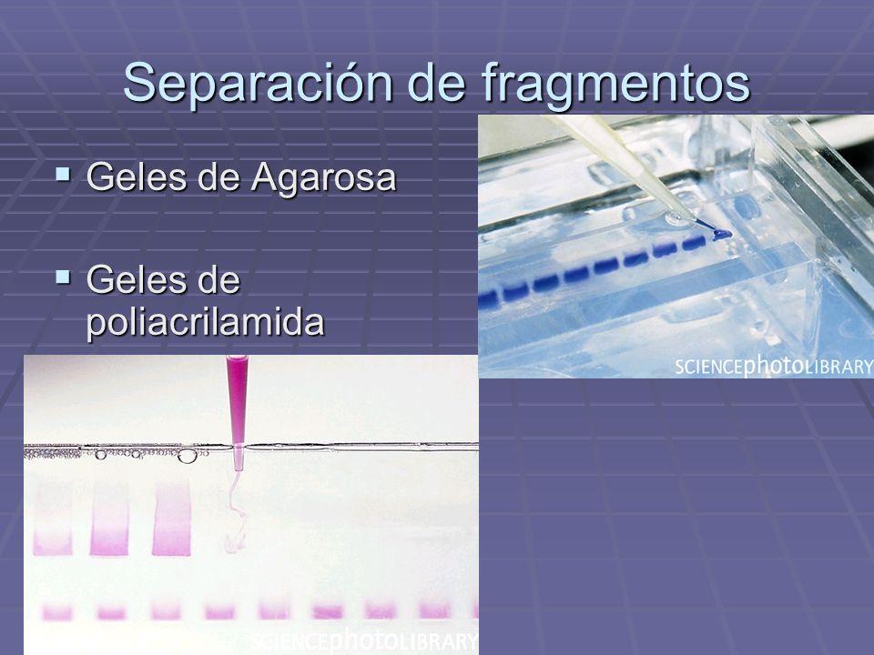 Separación de fragmentos Geles de Agarosa Geles de Agarosa Geles de poliacrilamida Geles de poliacrilamida
