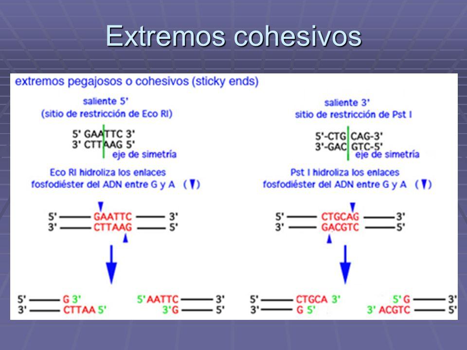 PCR ( reacción en cadena de polimerasa) Componentes de la reacción Polimerasa Polimerasa Primers Primers dNTPs dNTPs Cloruro de magnesio Cloruro de magnesio Agua Agua Buffer Buffer