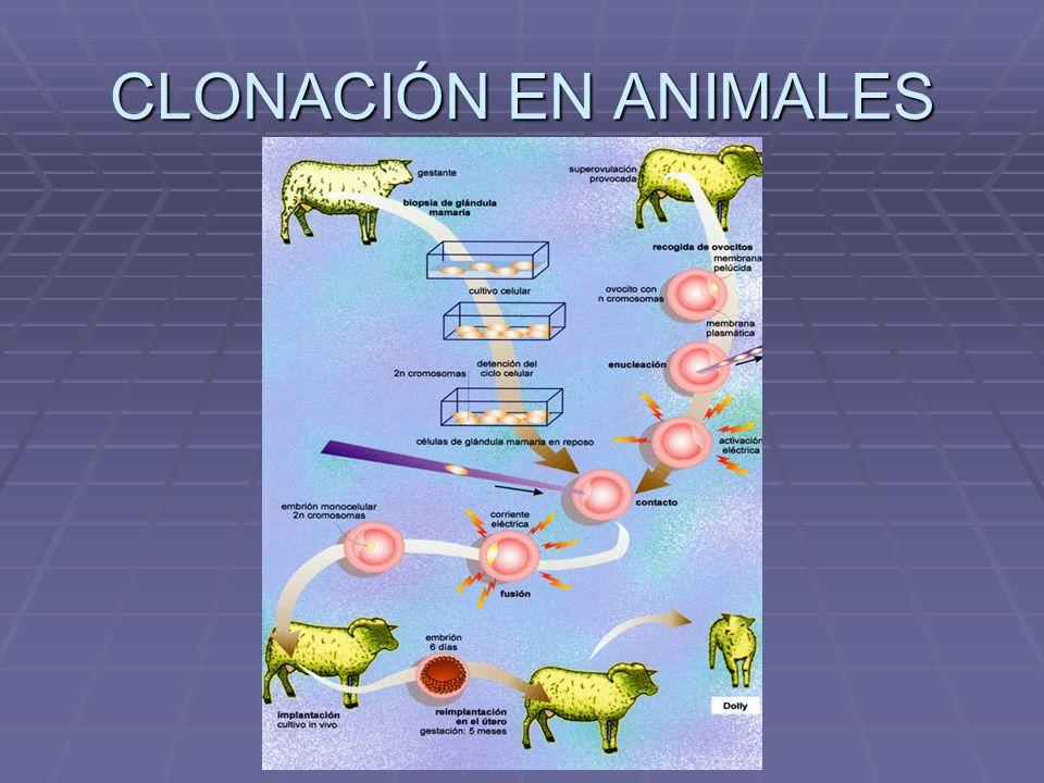 CLONACIÓN EN ANIMALES