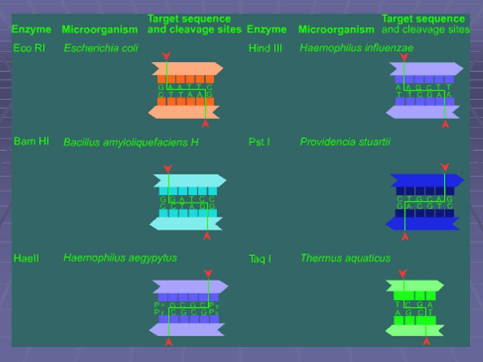 Clonación y uso de enzimas