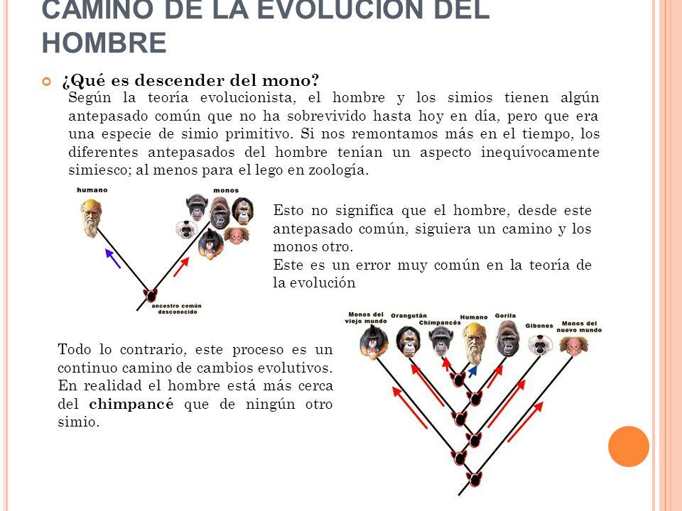 CAMINO DE LA EVOLUCIÓN DEL HOMBRE ¿Qué es descender del mono? Según la teoría evolucionista, el hombre y los simios tienen algún antepasado común que