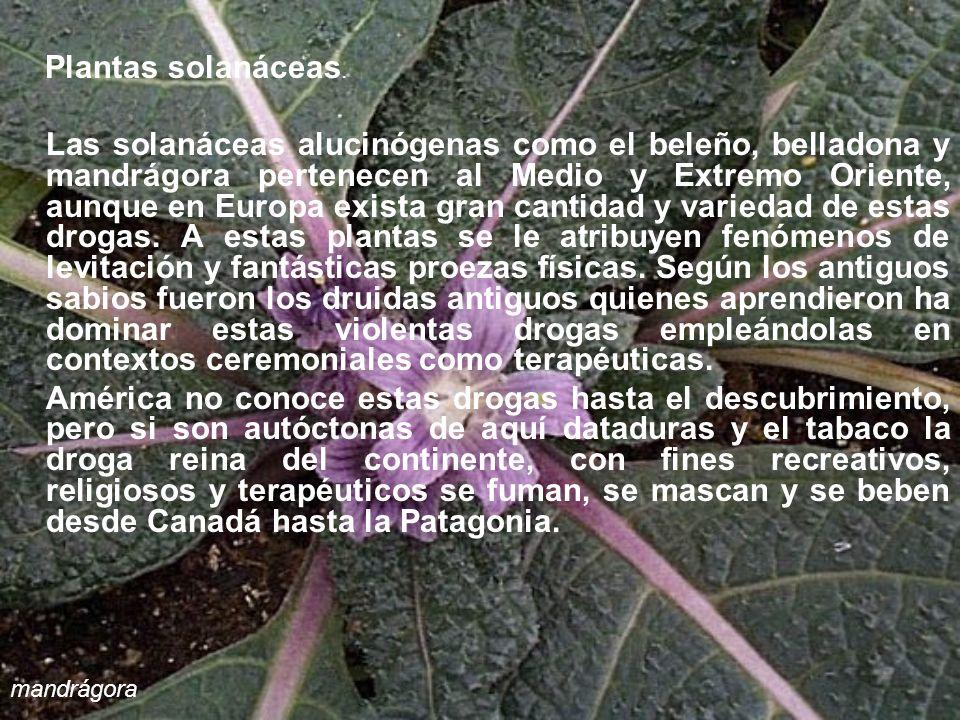 Plantas solanáceas. Las solanáceas alucinógenas como el beleño, belladona y mandrágora pertenecen al Medio y Extremo Oriente, aunque en Europa exista