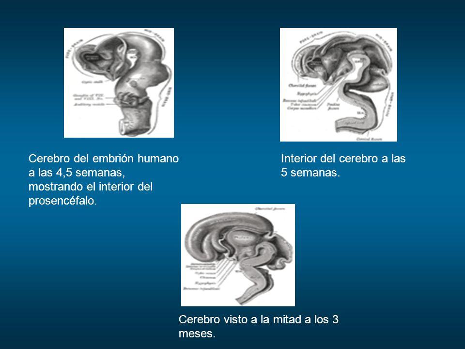 Cerebro del embrión humano a las 4,5 semanas, mostrando el interior del prosencéfalo. Interior del cerebro a las 5 semanas. Cerebro visto a la mitad a