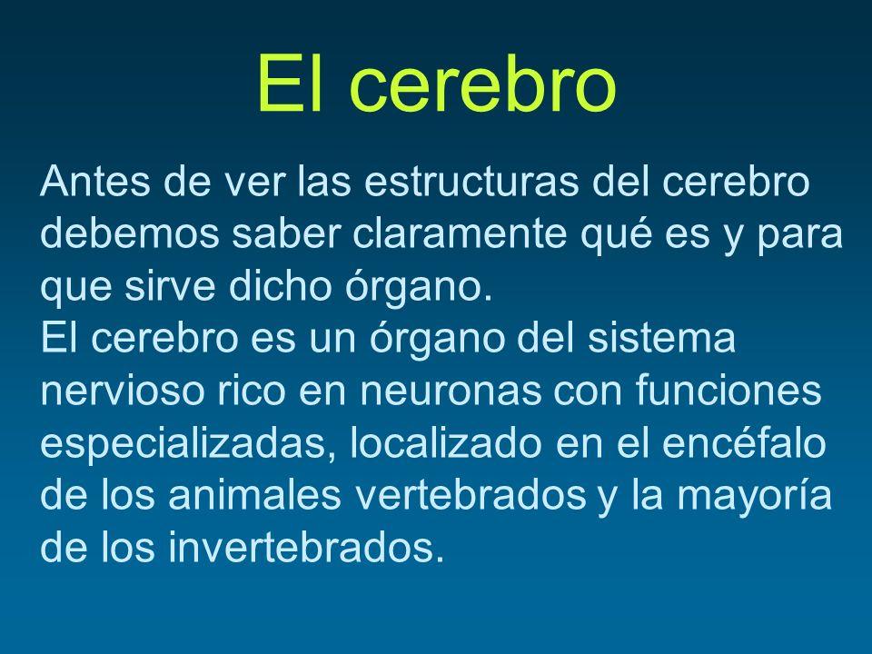 El cerebro Antes de ver las estructuras del cerebro debemos saber claramente qué es y para que sirve dicho órgano. El cerebro es un órgano del sistema