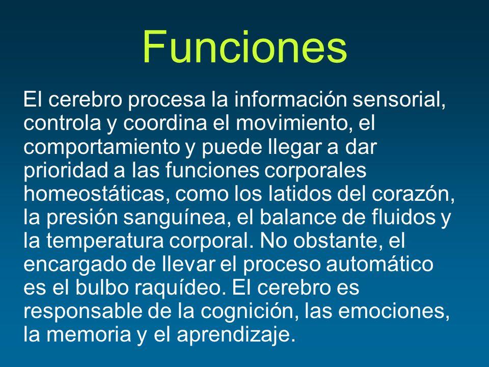 Funciones El cerebro procesa la información sensorial, controla y coordina el movimiento, el comportamiento y puede llegar a dar prioridad a las funci