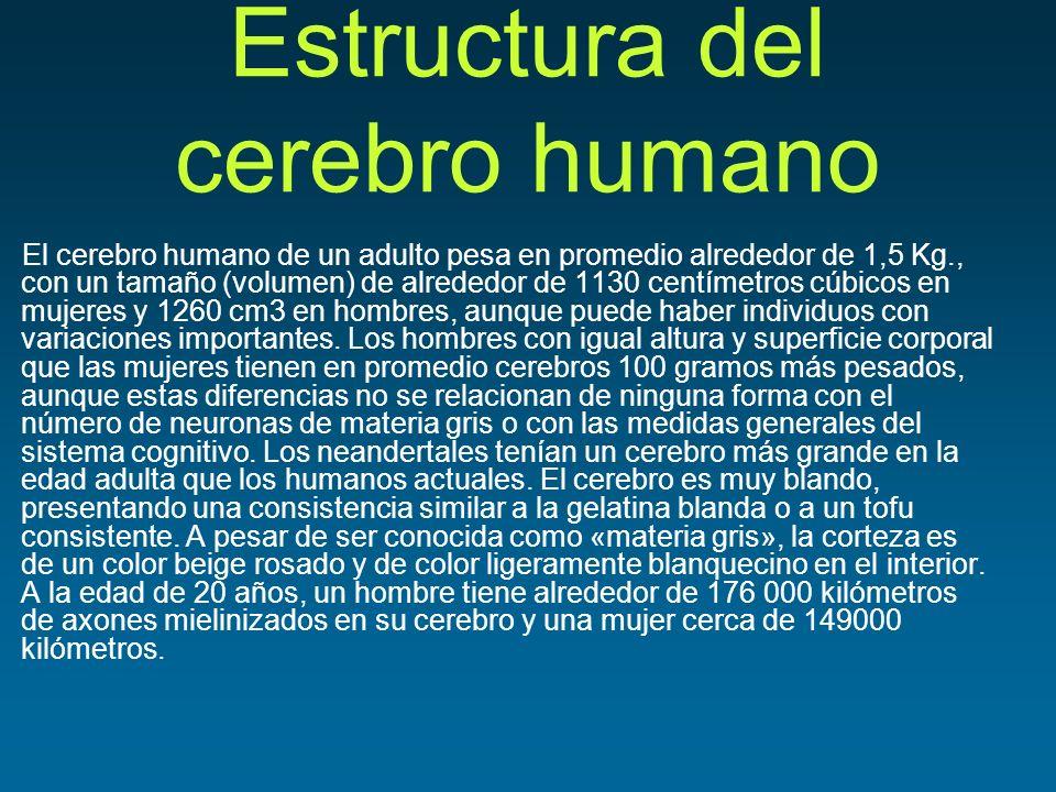 Estructura del cerebro humano El cerebro humano de un adulto pesa en promedio alrededor de 1,5 Kg., con un tamaño (volumen) de alrededor de 1130 centí