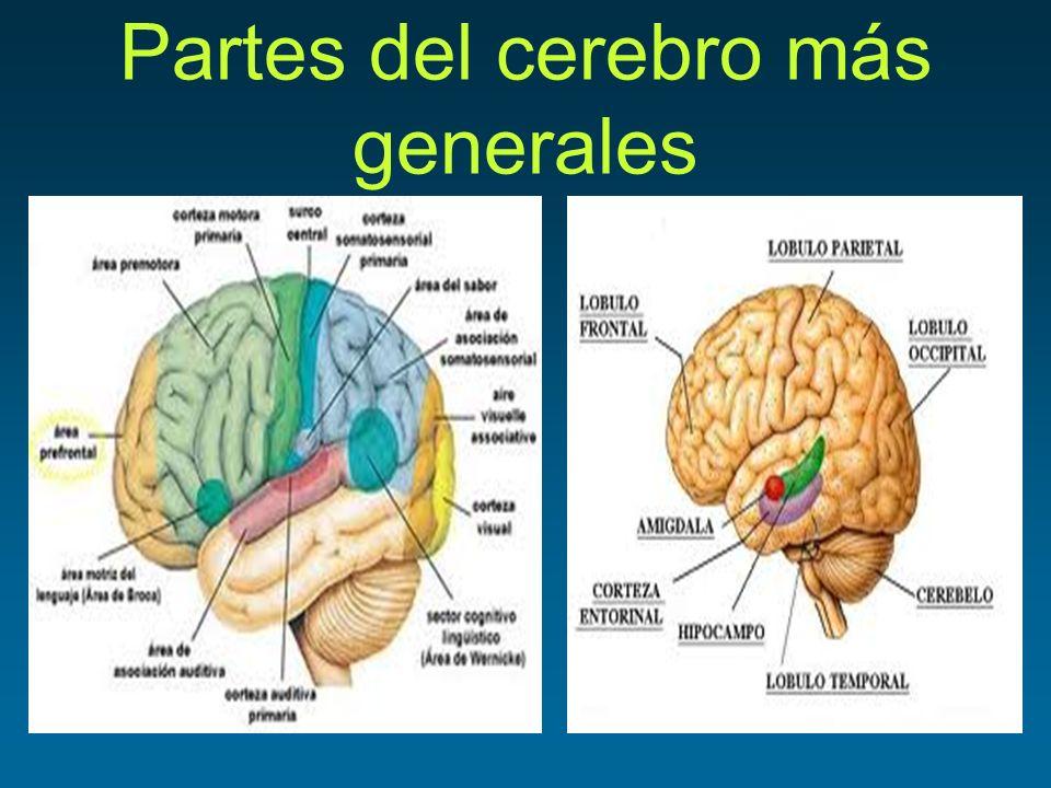 Partes del cerebro más generales