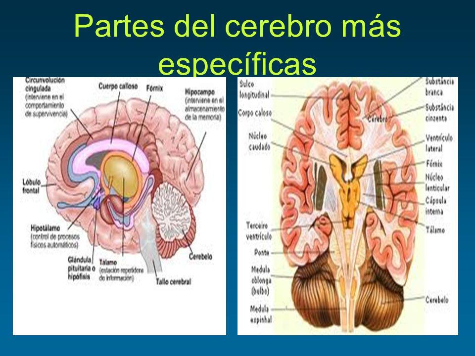 Partes del cerebro más específicas