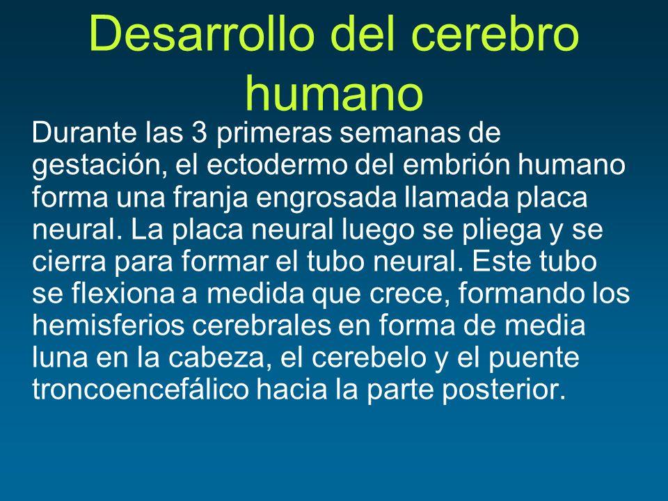 Desarrollo del cerebro humano Durante las 3 primeras semanas de gestación, el ectodermo del embrión humano forma una franja engrosada llamada placa ne