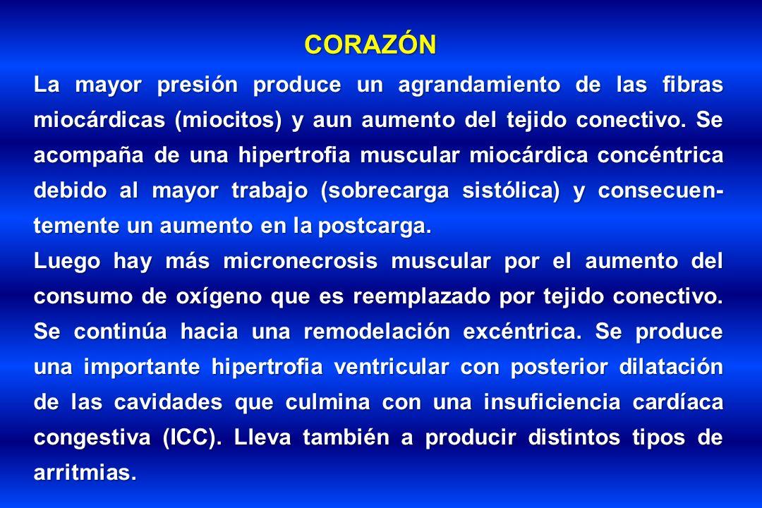 CORAZÓN La mayor presión produce un agrandamiento de las fibras miocárdicas (miocitos) y aun aumento del tejido conectivo. Se acompaña de una hipertro
