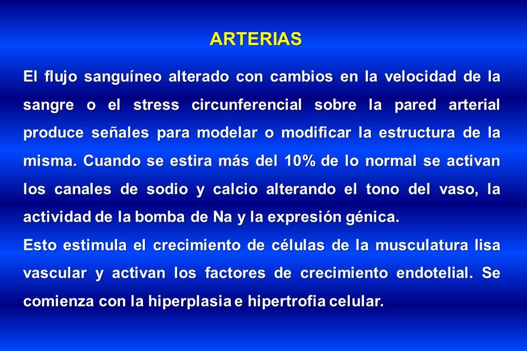 ARTERIAS El flujo sanguíneo alterado con cambios en la velocidad de la sangre o el stress circunferencial sobre la pared arterial produce señales para