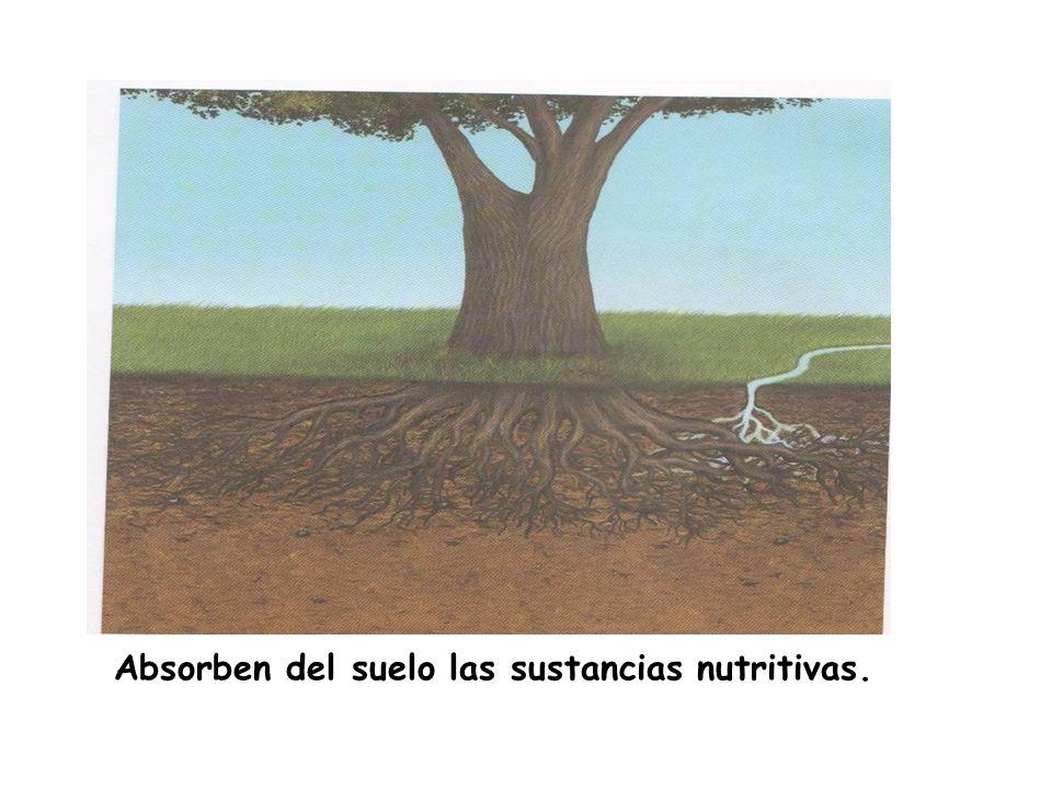 Absorben del suelo las sustancias nutritivas.
