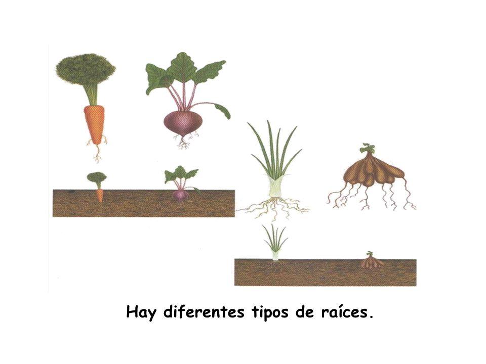 Actividades 1. ¿Con qué parte del cuerpo se compara a la raíz? Une.