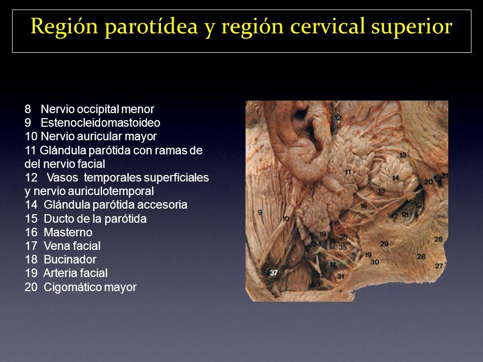 Región parotídea y región cervical superior 8 Nervio occipital menor 9 Estenocleidomastoideo 10 Nervio auricular mayor 11 Glándula parótida con ramas