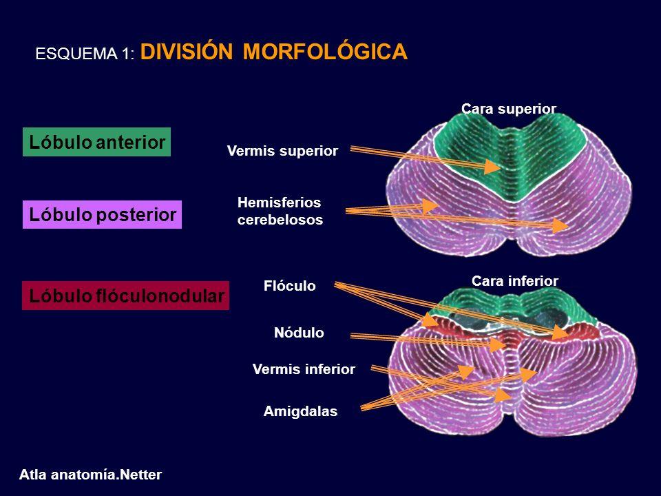 ESQUEMA 1: DIVISIÓN MORFOLÓGICA Cara superior Cara inferior Lóbulo anterior Lóbulo posterior Lóbulo flóculonodular Vermis superior Hemisferios cerebel