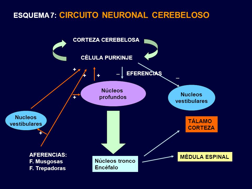 ESQUEMA 7: CIRCUITO NEURONAL CEREBELOSO AFERENCIAS: F. Musgosas F. Trepadoras CORTEZA CEREBELOSA CÉLULA PURKINJE Núcleos profundos + + _ _ Núcleos tro