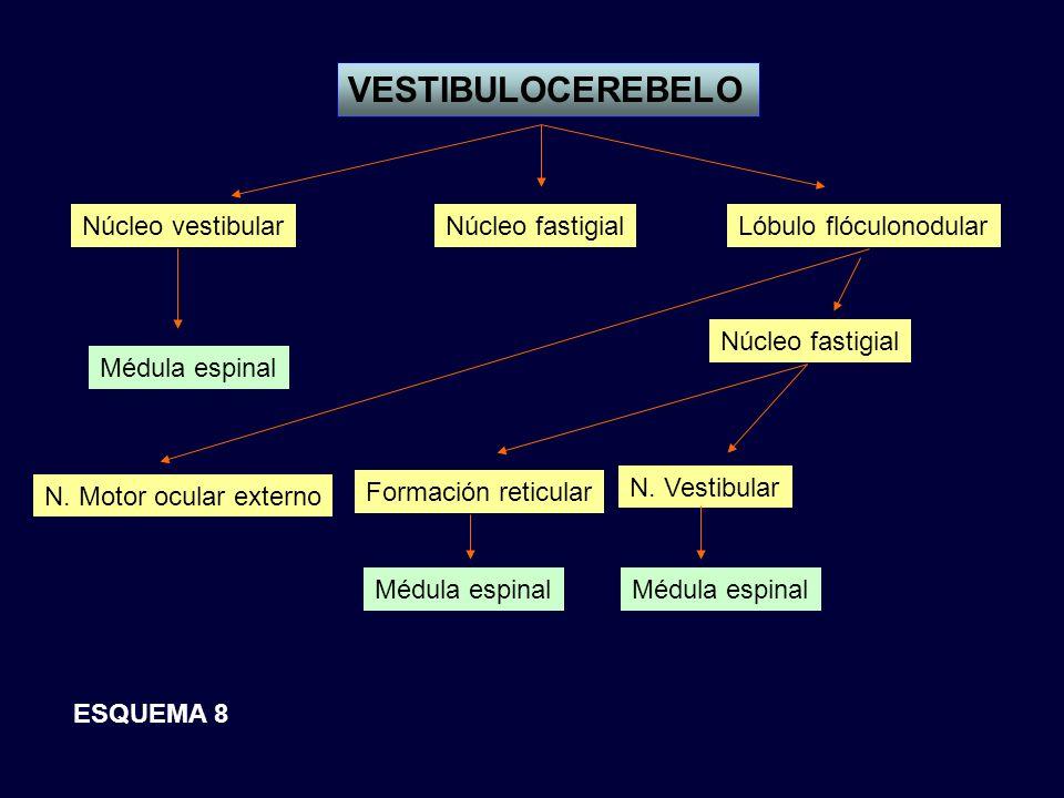 VESTIBULOCEREBELO Núcleo vestibularNúcleo fastigialLóbulo flóculonodular Médula espinal Núcleo fastigial N. Motor ocular externo Formación reticular N