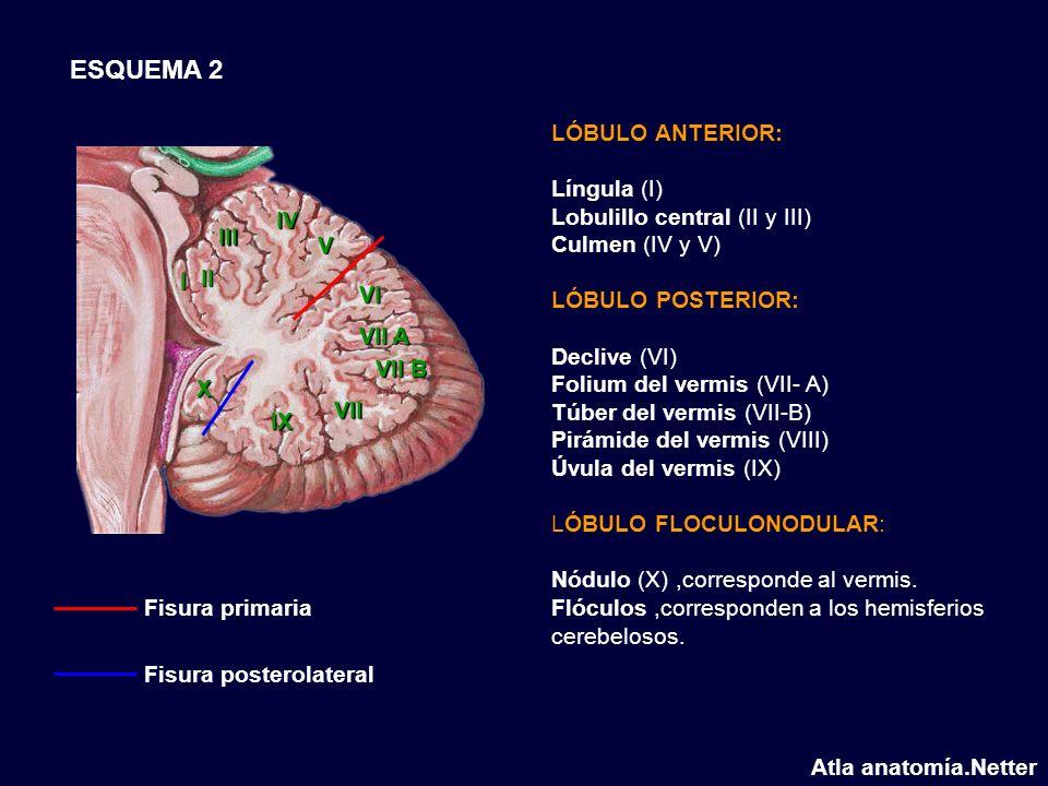 LÓBULO ANTERIOR: Língula (I) Lobulillo central (II y III) Culmen (IV y V) LÓBULO POSTERIOR: Declive (VI) Folium del vermis (VII- A) Túber del vermis (