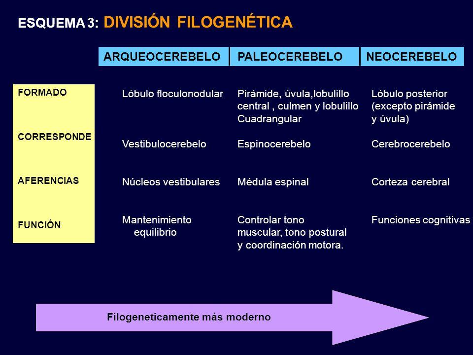 ARQUEOCEREBELO PALEOCEREBELO NEOCEREBELO FORMADO CORRESPONDE AFERENCIAS FUNCIÓN Lóbulo floculonodular Vestibulocerebelo Núcleos vestibulares Mantenimi