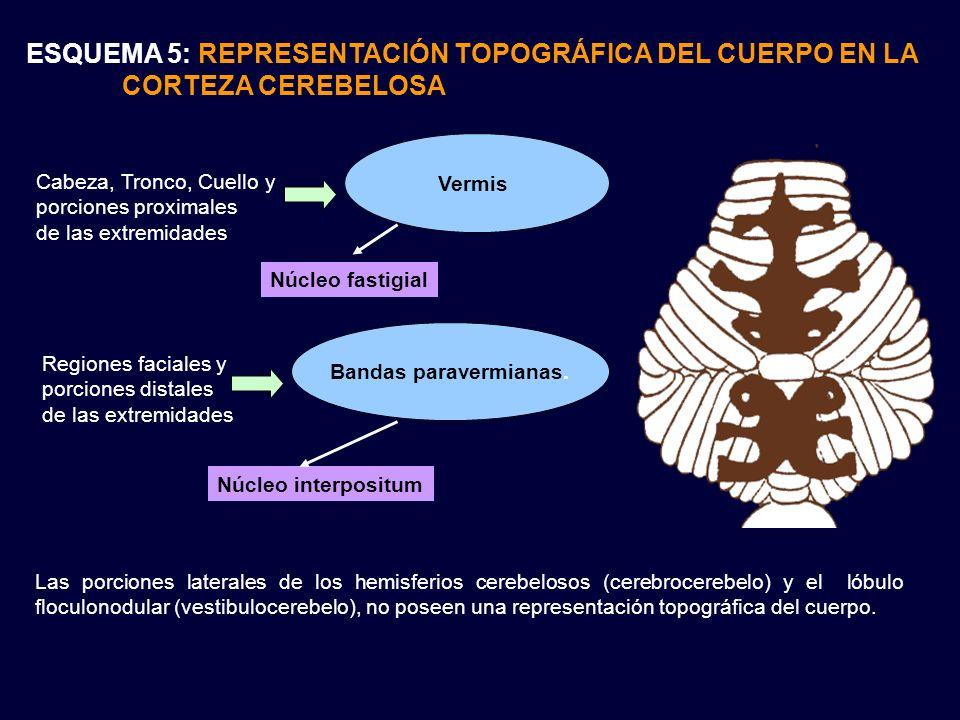 ESQUEMA 5: REPRESENTACIÓN TOPOGRÁFICA DEL CUERPO EN LA CORTEZA CEREBELOSA Las porciones laterales de los hemisferios cerebelosos (cerebrocerebelo) y e