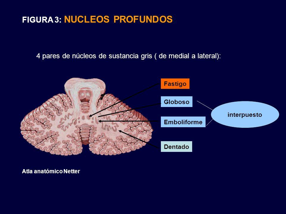FIGURA 3: NUCLEOS PROFUNDOS 4 pares de núcleos de sustancia gris ( de medial a lateral): Fastigo Globoso Emboliforme Dentado interpuesto Atla anatómic