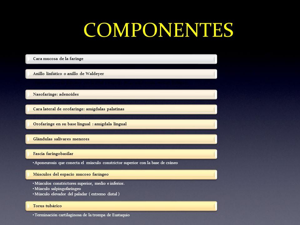 COMPONENTES Cara mucosa de la faringe Disminuye en su diámetro con la edad ( mayores de 40 años: tejido residual linfático). Anillo linfático o anillo