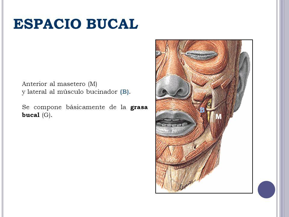 Anterior al masetero (M) y lateral al músculo bucinador (B). Se compone básicamente de la grasa bucal (G). M B G