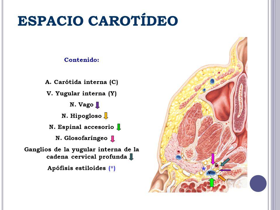 ESPACIO CAROTÍDEO Contenido: A. Carótida interna (C) V. Yugular interna (Y) N. Vago N. Hipogloso N. Espinal accesorio N. Glosofaríngeo Ganglios de la