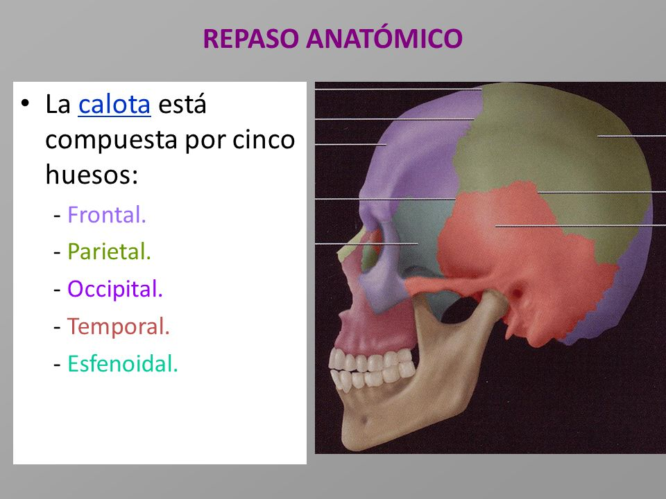 REPASO ANATÓMICO La calota está compuesta por cinco huesos: - Frontal. - Parietal. - Occipital. - Temporal. - Esfenoidal.
