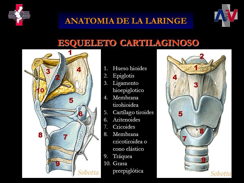 ANATOMIA DE LA LARINGE 1.Hueso hioides 2.Epiglotis 3.Ligamento hioepiglotico 4.Membrana tirohioidea 5.Cartílago tiroides 6.Aritenoides 7.Cricoides 8.M