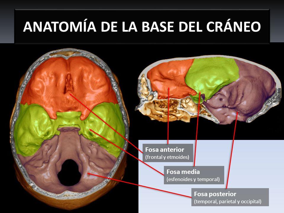 ANATOMÍA DE LA BASE DEL CRÁNEO FOSA MEDIA Fisura orbitaria superior (III, IV, V1, VI pares y vena oftálmica superior) Agujero redondo (V2 par) Agujero oval (V3 par, arteria meningea accesoria y nervio petroso menor) Agujero espinoso (Arteria y vena meníngeas medias y rama meníngea del nervio mandibular) Agujero rasgado Agujero carotídeo (Arteria carótida interna y plexo del n.