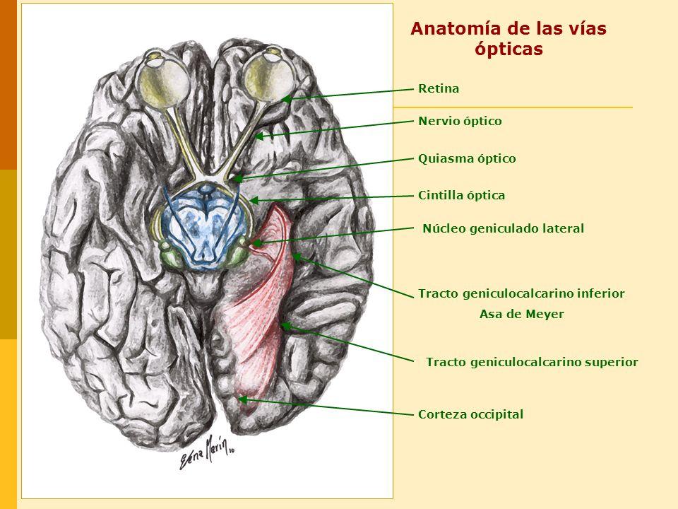 Basado en: Color Atlas and Textbook of Human Anatomy.