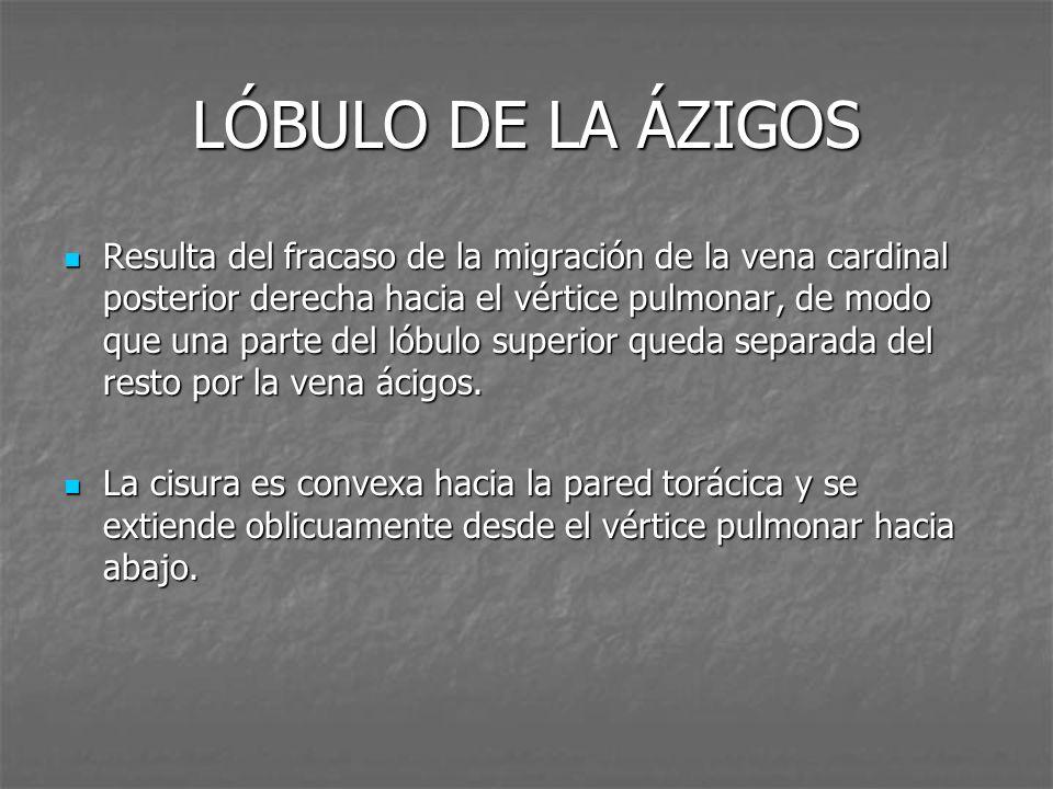LÓBULO DE LA ÁZIGOS Resulta del fracaso de la migración de la vena cardinal posterior derecha hacia el vértice pulmonar, de modo que una parte del lób