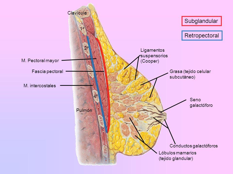 M. intercostales M. Pectoral mayor Clavícula 2ª 4ª 1ª Pulmón Fascia pectoralGrasa (tejido celular subcutáneo) Conductos galactóforos Seno galactóforo