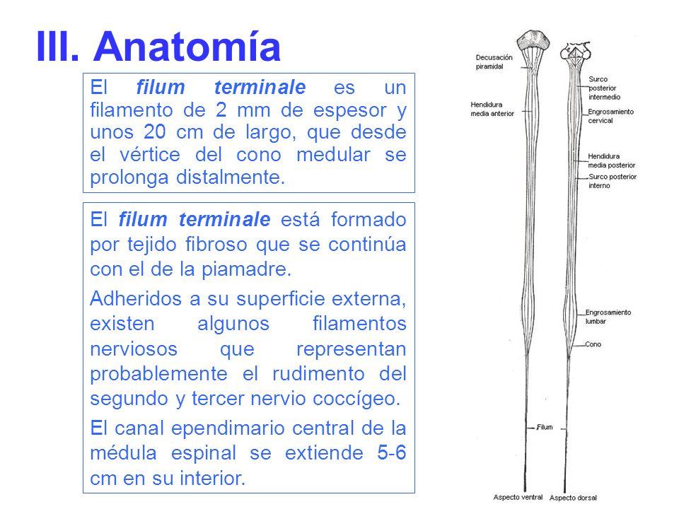 Tiene dos partes, una superior y otra inferior La parte superior, o filum terminale internum (4), mide unos 15 cm de largo y alcanza el borde inferior de la segunda vértebra sacra.