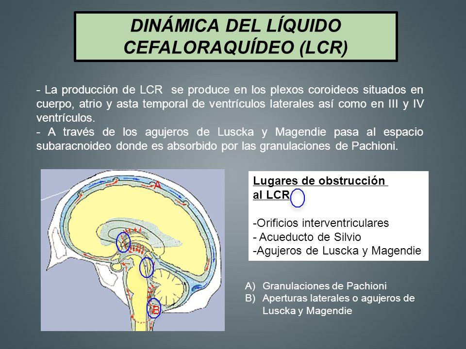 DINÁMICA DEL LÍQUIDO CEFALORAQUÍDEO (LCR) A B - La producción de LCR se produce en los plexos coroideos situados en cuerpo, atrio y asta temporal de v