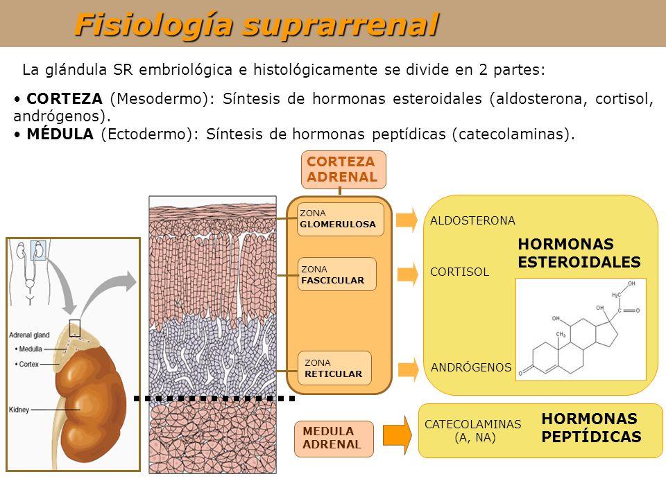 Fisiología suprarrenal MEDULA ADRENAL CATECOLAMINAS (A, NA) HORMONAS PEPTÍDICAS La glándula SR embriológica e histológicamente se divide en 2 partes: