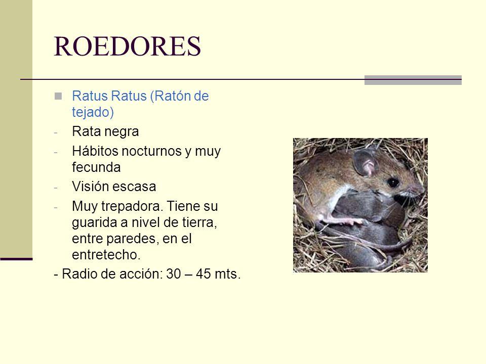 ROEDORES Ratus Ratus (Ratón de tejado) - Rata negra - Hábitos nocturnos y muy fecunda - Visión escasa - Muy trepadora. Tiene su guarida a nivel de tie