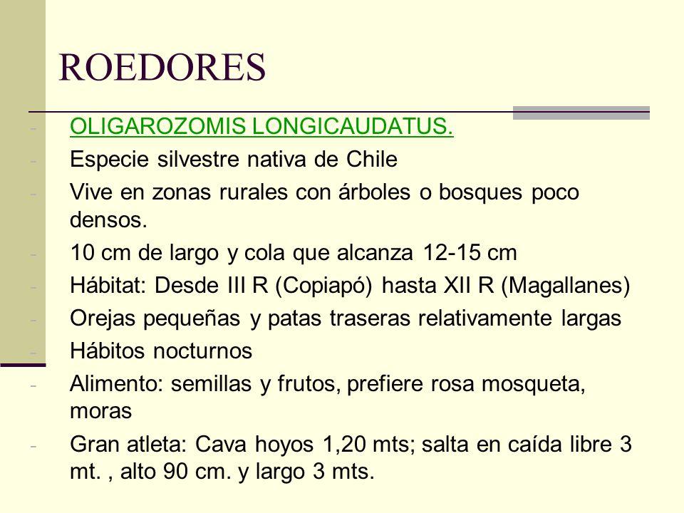 ROEDORES - OLIGAROZOMIS LONGICAUDATUS. - Especie silvestre nativa de Chile - Vive en zonas rurales con árboles o bosques poco densos. - 10 cm de largo